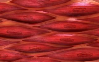 Renoir muscle